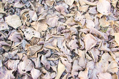 Brown fallen leaves Stock Photography