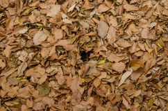 Brown fallen leaves laying on the ground. Stock Photo