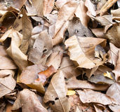 Brown fallen leaves laying on the ground. Stock Image