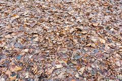 Brown autumn leaves. Brown fallen leaves lie on autumn ground Royalty Free Stock Image