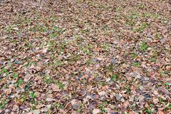 Brown autumn leaves. Brown fallen leaves lie on autumn ground Stock Photography