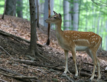 Brown Fallow Deer in forest. Brown fallow female deer on natural background stock photo