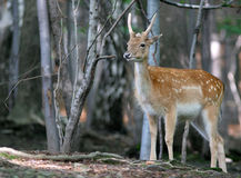 Brown Fallow Deer in forest. Brown fallow young  male deer on natural background Royalty Free Stock Image