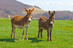 Brown Farm Donkeys. Donkeys on West Virginia farm near Seneca Rocks Royalty Free Stock Photography