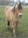 Brown farm horse in a meadow Royalty Free Stock Photography