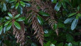 Brown-Farn und grüne Blätter wenn am regnerischen Nachmittag stock footage