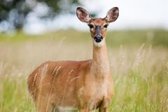 Brown Fawn in Field Royalty Free Stock Image