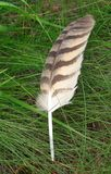 Brown Feather. A beautiful big feather lying in the grass that was shed by a large bird of prey.  It probably came from a Great Horned Owl, but could also be Stock Images