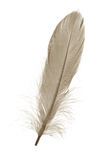 Brown Feather. With white background Royalty Free Stock Image