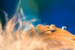 Brown feather on a blue background.Drops on a bird`s feather, abstract macro. Selective focus.  stock image