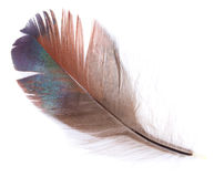 Brown feather isolated Royalty Free Stock Images