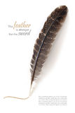 Brown feather isolated on white, sample text Royalty Free Stock Photo