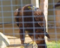 A brown feathered falcon with sharp talons. A majestic brown feathered falcon scouting for his food which his talons come in handy for Stock Photos