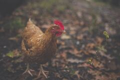 Brown Feathered Hen Stock Photography