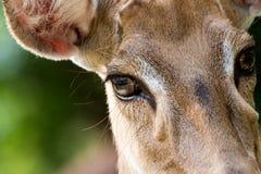 Brown female antelope face Stock Image