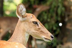 Brown female antelope face Royalty Free Stock Images