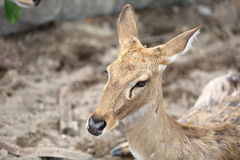 Brown female antelope head Stock Images