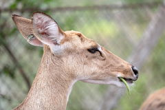 Brown female antelope head Stock Photography