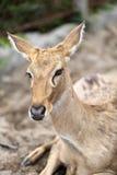 Brown female antelope head Stock Photo