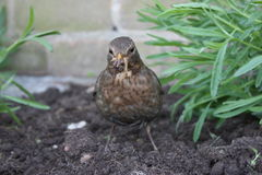 Brown female blackbird scavenging for worms in freshly turned so Royalty Free Stock Photo