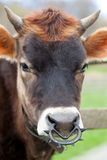 Brown Female Calf Stock Images