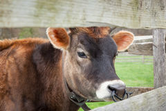 Brown Female Calf Royalty Free Stock Image