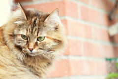 Brown female of cat, siberian breed,tricolor version Royalty Free Stock Image