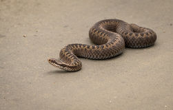 Brown female of Common European Adder, Vipera berus, crawling on dirt road. Brown female of Common European Adder, Vipera berus, crossing a dirt road. Picture Stock Image