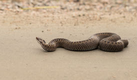 Brown female of Common European Adder, Vipera berus, crawling on dirt road. Brown female of Common European Adder, Vipera berus, crossing a dirt road. Picture Stock Photography