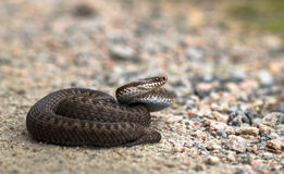 Brown female of Common European Adder, Vipera berus, on dirt road. Brown female of Common European Adder, Vipera berus, lying on a dirt road facing right side Stock Image