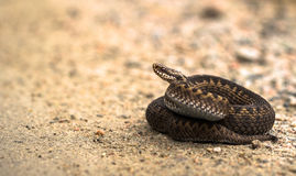 Brown female of Common European Adder, Vipera berus, lying on sand road. In Mandal, Norway Stock Photos
