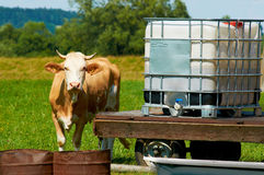 The brown female cow is standing by a water place in sunny hot day on a meadow. Royalty Free Stock Images