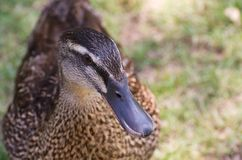 Brown Female Duck Royalty Free Stock Photos