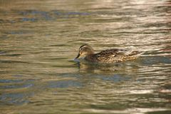 Lady duck posing for the camera. Brown female duck in brown shimmering water Stock Photo