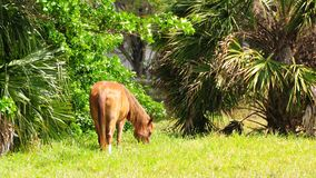 Brown female horse in field, Florida Stock Photos