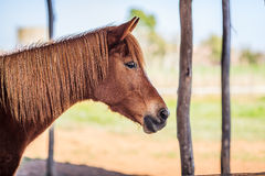 Brown female horse. Side-view up of brown female horse Stock Photography