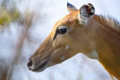 Brown female impala head close up Stock Photos