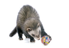 Brown ferret and ball Stock Images