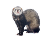 Brown ferret Royalty Free Stock Image