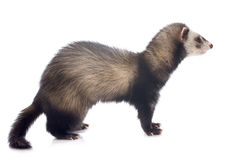 Brown ferret Stock Photo