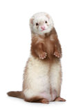 Brown Ferret standing on a white background Stock Photography
