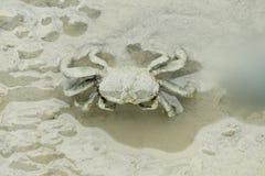 A Brown Fiddler Crab Stock Photos