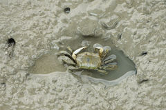 A Brown Fiddler Crab Stock Images