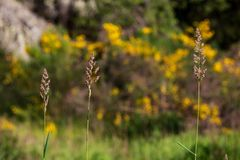 Brown field grass with blooming yellow scotch broom. In the background royalty free stock photo
