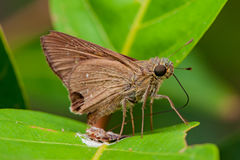 Brown Fiery Skipper moth Stock Photos