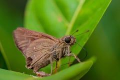 Brown Fiery Skipper moth. Hylephila phyleus on a leaf Royalty Free Stock Photos