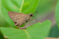 Brown Fiery Skipper moth Stock Image