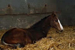Brown filly in stable. Among hay Royalty Free Stock Image