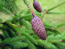 Brown fir tree cones. Beautiful brown  fir tree cones on branch, Lithuania Royalty Free Stock Photos