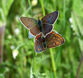 Brown fire- butterfly pair mating Stock Photo